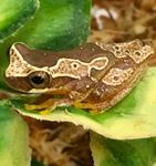 WC Hourglass Treefrog