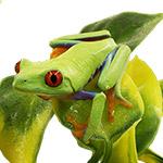 CB Red Eye Treefrog