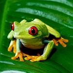 CB HET MELANISTIC Red Eyed Treefrog