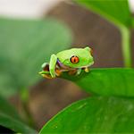 CB 2-4cm Red Eye Treefrog