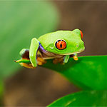 4 x CB Red Eye Tree Frogs *BUNDLE DEAL*