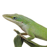 WC Green Anole