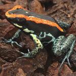 CB Golfodulcean Poison Arrow Frog