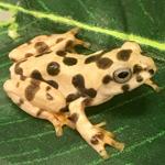 CB Spinybottom Flying Tree Frog