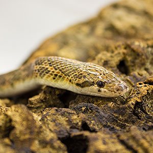 WC Glossy Snake