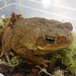 WC Giant Marine Toad