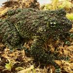 CB Vietnamese Mossy Frog