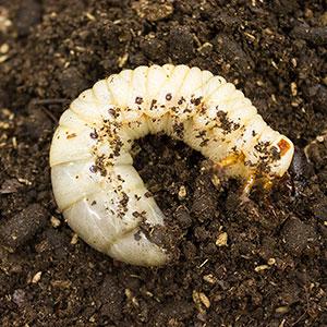 CB 1x LARVAE Giant Atlas Beetle (C.caucasus)