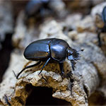 WC Dung Beetle