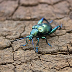 CB ADULT GREEN Frog leg beetle (Sagra sp.)