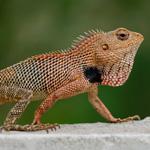 WC Oriental Garden Lizard