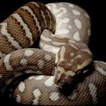 CB Bredl's Python