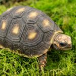 CB19 Red Foot Tortoise