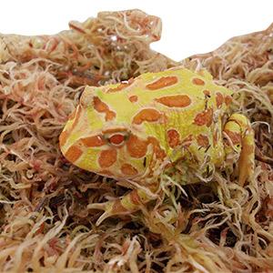 CB 2-3cm ALBINO Horned Frog