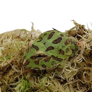 CB 2-3cm GREEN Horned Frog