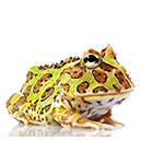 CB 2-3cm ORNATE  Horned Frog