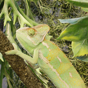 CB Yemen Chameleon