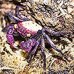 WC 2-3cm Vampire Crab