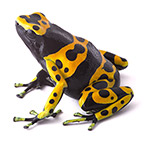 CB Yellow & Black Poison Arrow Frog