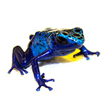 CB Blue Poison Arrow Frog