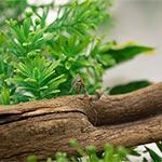CB Dead Leaf Mantis (dessicata)