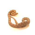 CB HATCHLING AVALANCHE Corn Snake