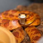 CB 60-90cm ULTRAMEL Corn Snake