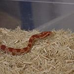 CB HATCHLING HYPO CARAMEL SUNKISSED Corn Snake