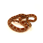 CB HATCHLING HYPO DIFFUSED Corn Snake
