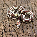 CB HATCHLING TESSERA Corn Snake