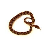 CB HATCHLING LAVA Motley Corn Snake