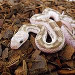 CB 30cm WHITE SIDE Black Rat Snake