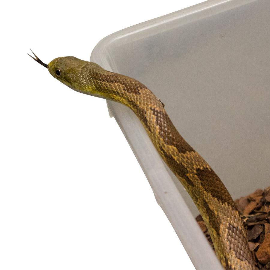 CB HATCHLING EVERGLADES Rat Snake