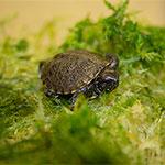 CB European Pond Turtle