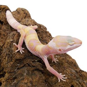 CB ALBINO Leopard Gecko