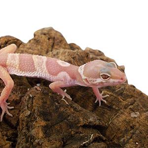 CB GROWN ON Leopard Gecko