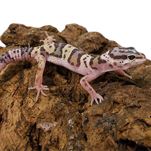 CB MACK SNOW Leopard Gecko
