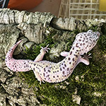 CB HATCHLING MONTANUS Leopard Gecko