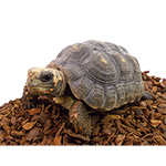 CB18 Red Foot Tortoise