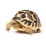 CBUK 2017 Indian Star Tortoise