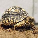 CB 2016 Leopard Tortoise
