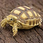 CB18 African Spurred Tortoise (Sulcata)