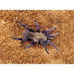 WC Cobalt Blue Tarantula