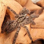 WC Togo Starburst Tarantula