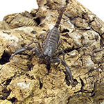 CB 1-2cm Asian Jungle Scorpion