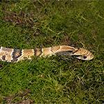 CB False Water Cobra