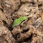 CB 1-2cm European Green Treefrog