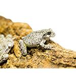 CB 2-3cm Grey Treefrog
