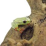 CB Hieroglyphic Reed Frog