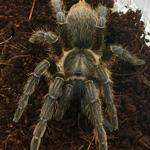 WC 4-5cm Costa Rican Zebra Tarantula
